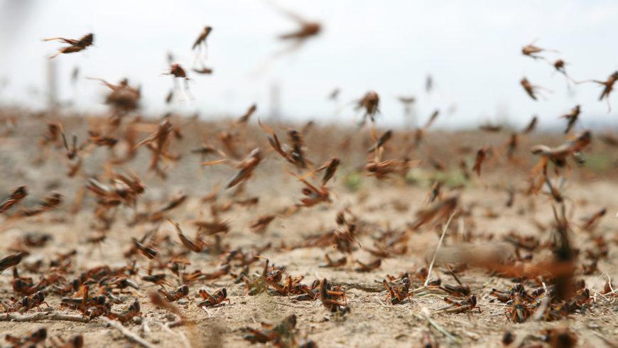 """Cavallette, cimici, api """"impazzite"""": la colpa è anche del cambiamento climatico??"""